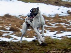 Greyhound x Alaunt