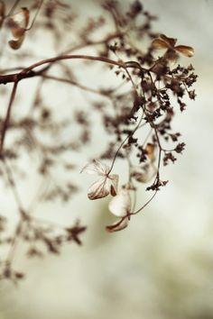 great photo of winter hydrangeas