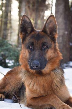 WOW! The German Shepherd Dog #GermanShepherd