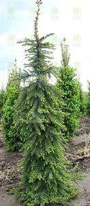 Bruns Serbian Spruce
