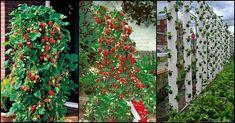 Vertikálne pestovanie jahôd (krok za krokom) - Pestovanie - Záhrada a príroda | Hobby portál