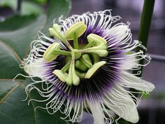 Purple Passion Fruit Vine, Passiflora edulis, Seeds (Fast, Edible, Showy)