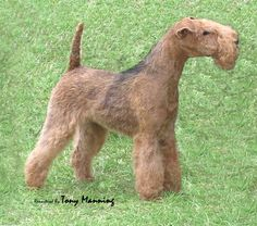 Lakeland Terrier Society Ch Show 08