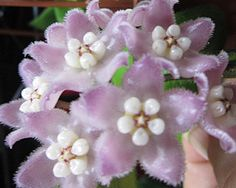 hoya/Hoya Thomsonii (EPC-215) pink flowers