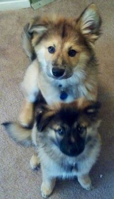 My two German Shepard - Chow mix pups, Moose and Meeka. They are littermates and have a 20lb weight difference between them :)