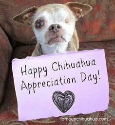 Mark your calendars! May 14th is International Chihuahua Appreciation Day! RIP @harleypuppymilldog Chihuahua Love, Chihuahua Puppies, Teacup Chihuahua, Cute Puppies, Cute Dogs, Dogs And Puppies, Chihuahuas, Doggies, Awesome Dogs