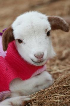 Are you KIDDING me with this (pun intended)? That face! Those ears! That sweater! Cute Baby Animals, Animals And Pets, Animal Pictures, Cute Pictures, Boer Goats, Cute Goats, Sheep And Lamb, Animals Beautiful, Fur Babies