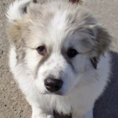 Oh by the way... I really Want a great pyrenese :)