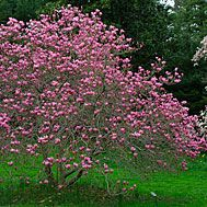 """Magnolia """"Ann.""""  She's a hybrid!  Cross between M. liliiflora and M. stellata, small in stature with fluffy tiny tulip blooms.  PERFECT!"""