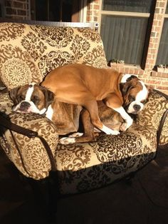 Beautiful Boxers deserve only the most popular Boxer dog ...