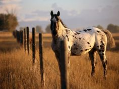 equinebeasties:    Appaloosa