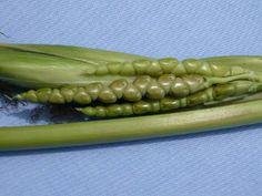 Teosinte - predak kukuruza
