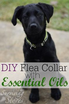 DIY Flea Collar Essential Oils #detoxyourhome #oilyfamilies #youngliving