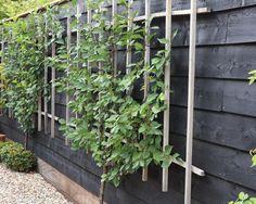 De geleide morel groeit en bloeit goed op de noordelijk gelegen zwarte schutting. Deze plant houdt zijn vorm door het traditionele eikenhouten trelliswerk.