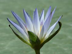 * Ninféia *  (Nymphaea caerulea).