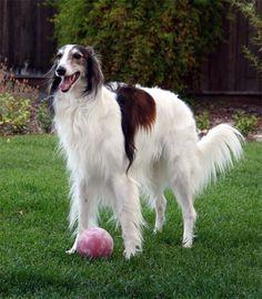 Strider with ball Silken Windhound (My Vesper's grand sire.)