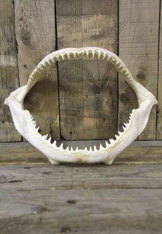 """13"""" Blacktip Shark Jaws - For my Beach House"""
