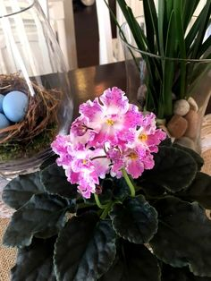 Types of Houseplant Bugs and Methods to Check Their Infestation The Best Method To Grow An African Violet From A Leaf Types Of Flowers, Diy Flowers, Flower Pots, Indoor Flowers, Big Plants, Exotic Plants, Indoor Plants, Indoor Garden, Flowering Plants