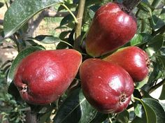 Canal red pear,required 50 days for maturit