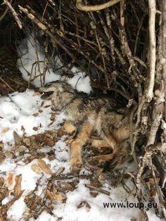 Un jeune loup retrouvé mort dans le parc national des Ecrins