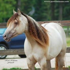 Beautiful champagne classic dun American Quarter Horse. Gorgeous color and mane!