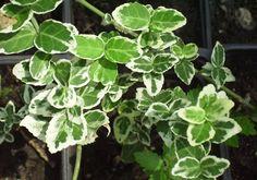 Emerald Gaiety'  (Euonymus fortunei 'Emerald Gaiety')