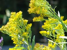 Ohio Goldenrod, Solidago ohioensis.   The largest and showiest blooms.  Prefers moist sites.  Benefits 115 species