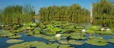 lilies in Danube Delta