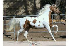 Pinto for Sale on www.PonyCity.com