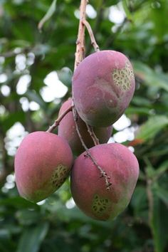 Health Benefits of Mango:  1. cancer prevention  2. improves vision  3. high in copper  4. improves sex life  5. alkalizes the body  6. improves digestion  7. lowers cholesterol  8. improves memory and concentration
