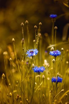 Cornflowers. by Sergey Zimoglyad on 500px