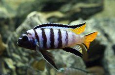 Pseudotropheus Sp. Elongatus Mpanga