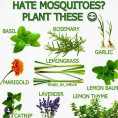 Natural Garden Pest Control Keep mosquitoes away naturally with plants in n your balcony or in your garden. The post Natural Garden Pest Control appeared first on Garden Easy. Gardening For Beginners, Gardening Tips, Organic Gardening, Hydroponic Gardening, Mosquito Repelling Plants, Anti Mosquito Plants, Natural Mosquito Repellant, Insect Repellent Plants, Wasp Repellent