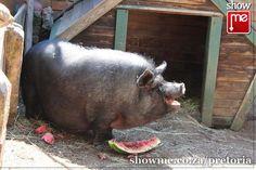 Kinderplaas-Pig