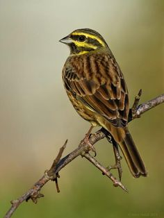 What better way to start the day than with Steve Hatch's glorious male Cirl Bunting? http://birdguides.com/picture?f=452430 …