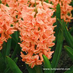 Orange Gipsy Queen Hyacinth