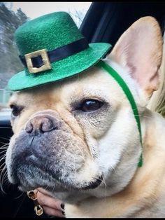 French Bulldog on St. Patrick's Day.