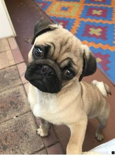 Adopt Mickey On Black Pug Puppies Pug Puppies Pug Puppies For Sale