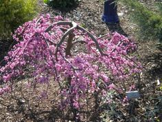 Bring on the cherry blossoms! Find the perfect ornamental cherry tree for your outdoor space.