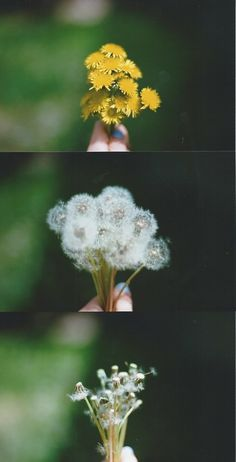 Life cycle of the dandeloin