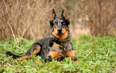 FRENCH Beauceron