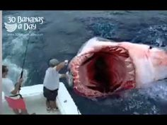 MEGALODON SHARK ATTACK boat off Florida coast. Real or fake?    megalodon shark swimming around in 2012? NO WAY! Obviously this megalodon shark attack photo is FAKE. Sharks don't get that big anymore. Great white shark is the biggest shark that would attack a boat but even they are not a quarter the size of a the megalodon shark from prehistoric t...
