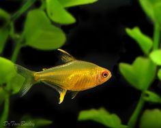 tetras names - Bing images Tetra Fish, Fish Care, Freshwater Aquarium Fish, Underwater Creatures, Tropical Fish, Fresh Water, Aquarium Ideas, Tanks, Bing Images