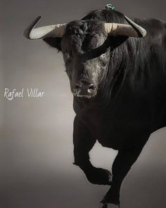 Bull Pictures, Animal Pictures, Nature Animals, Farm Animals, Taurus Constellation Tattoo, Bull Tattoos, Bull Cow, Illustrations And Posters, Cattle