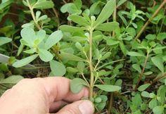 Buruiana minune din curtea noastra! Este printre cele mai sanatoase plante din lume care ne protejeaza de cancer