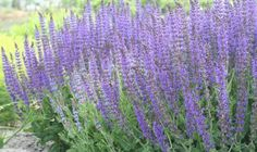 Purple Garden, Tropical Garden, Salvia, Front Yard Decor, Sage Plant, Summer Plants, Herbaceous Perennials, White Gardens, Cherry Tree