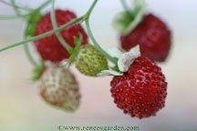 URBAN GARDENING: Growing Strawberries and Raspberries in small spaces
