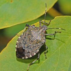 How awesome a stinkbug's shell is. http://ift.tt/2Bw31lX