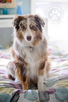RED MERLE AUSSIE.