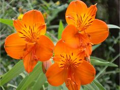 Alstroemeria Orange King for sale for £ Buy all kinds of Plants with discounts up to Ordered today = deliverd tomorrow. Beautiful Flowers Garden, Flowers Nature, Flowers Perennials, Planting Flowers, Order Plants Online, Orange, Summer Bulbs, Peruvian Lilies, Growing Gardens